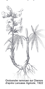 orobanche.png